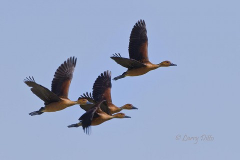 A group of fulvous whistling ducks headed up the coast for more suitable habitat.
