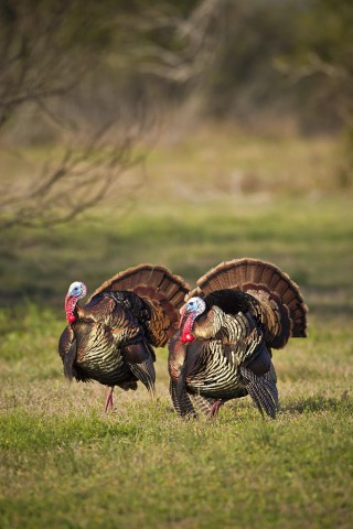 "Big ""Tom"" turkeys strutting their stuff for the ladies."