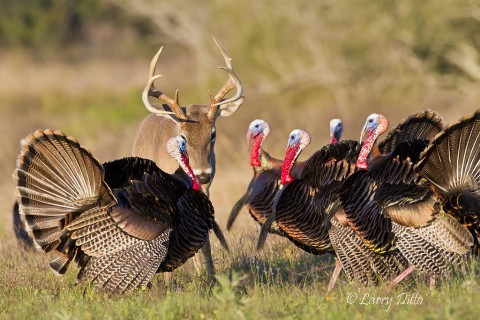 Several excited gobblers are determined to take out their aggression on a buck white-tailed deer.