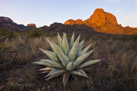 Agave and Chisos Mountains at sunrise.