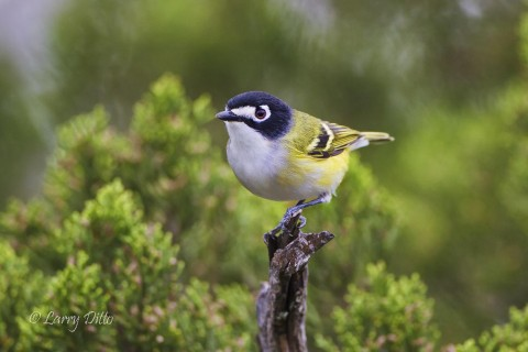 Endangered black-capped vireo perched in hill country habitat.