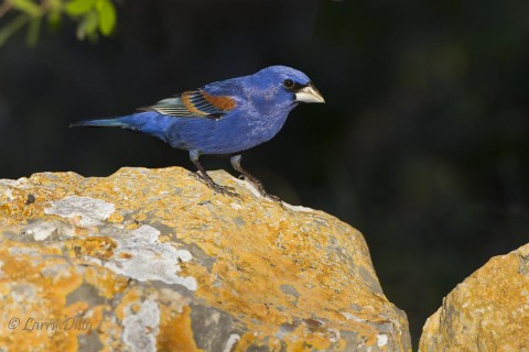 This blue grosbeak was looking for a perch with complimentary colors.  This lichen covered rock was a perfect find.