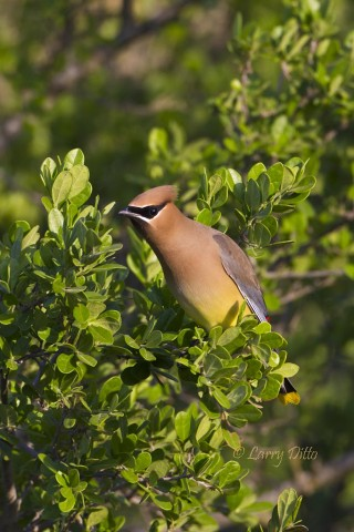 Cedar Waxwings are winter and spring residents.