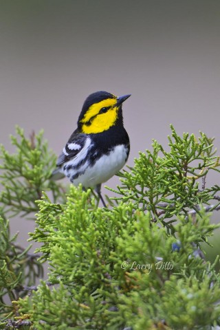Golden-cheeked Warbler in juniper.