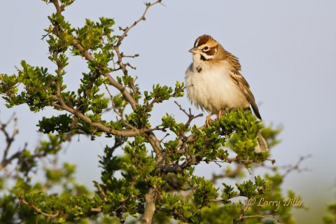Lark sparrows were a part of the bird diversity at a Transition Ranch photo blind.