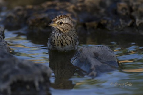 Lincoln's sparrow is spot-lighted while taking it evening bath at the bird blind.