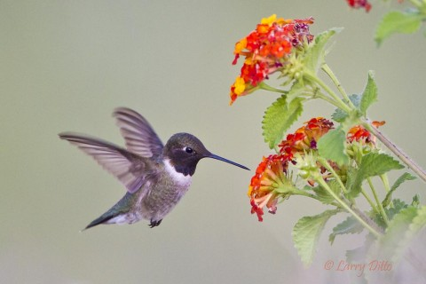 Male black-chinned hummingbird feeding at lantana blooms near a photo blind.