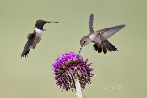 Black-chinned hummingbirds, male and female, feeding at a thistle flower with grass as a background and natural light.