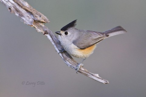 Black-crested titmice were at every blind.