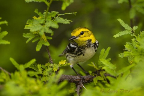 Black-throated Green Warbler foraging for caterpillars among the leaves of a tepeguaje tree on South Padre Island during the spring migration.