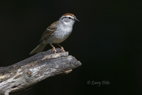Chipping sparrows were common around the photography blinds at Block Creek Natural Area.