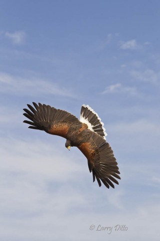 Harris's Hawk in a dive.