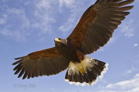 Harris's Hawk landing.