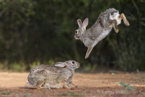 Cottontail rabbits playing.
