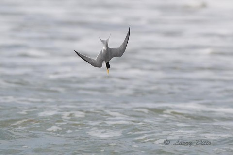 Least Tern diving for fish in the surf along the Gulf of Mexico at South Padre Island.