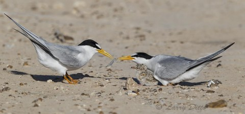 Least terns feeding their young on a bar near the Laguna Madre.