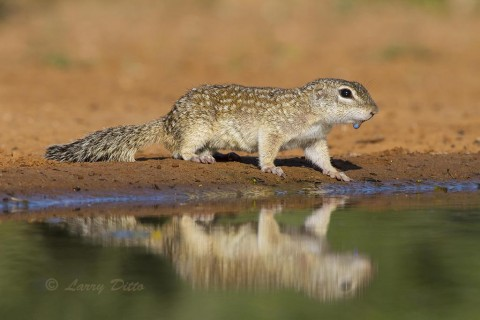 Mexican Ground-Squirrel with a water droplet on his chin.