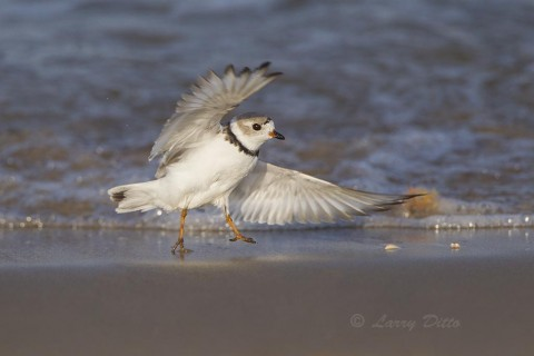 Piping plover leaping out of the surf after a quick bath.