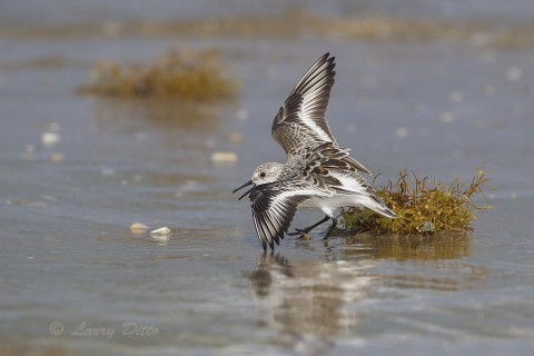 When sargassum is carried ashore by the tides, sanderlings are there to find any sea creatures living in the plant's leafy segments and air bladders.