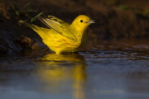 Migrating male yellow warbler bathing just before sunset.