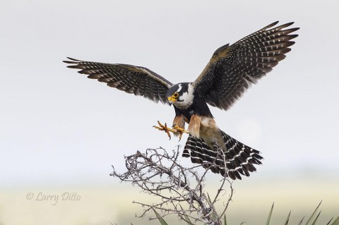 Adult aplomado falcon landing on yucca flower stalk.