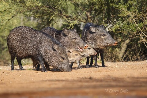 Collared peccaries of all ages feeding in a tight group.
