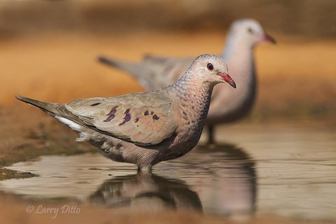 Common Ground-Dove pair drinking at ranch pond.