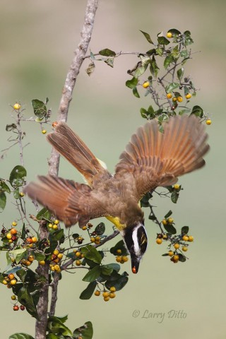 Great Kiskadee sweeps down for an anaqua berry.