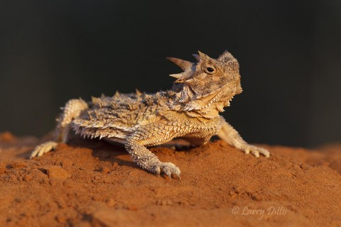 Texas horned lizard at sunrise.