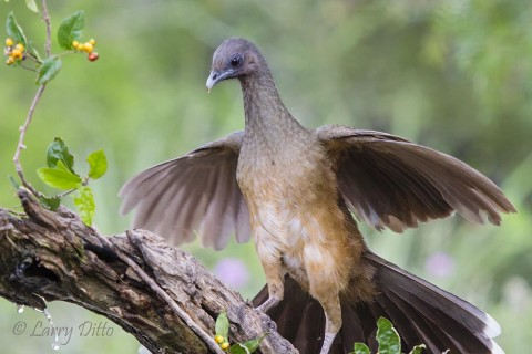 Plain Chachalaca spreads tail and wings for balance.
