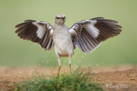 Northern Mockingbird flapping wings.