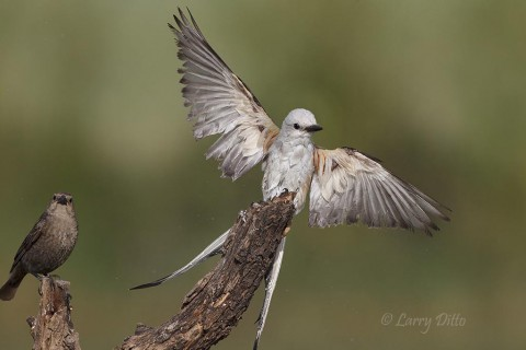 Wet scissor-tailed flycatcher landing.