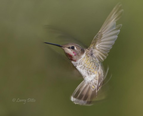 Juvenile male Anna's Hummingbird hovering.