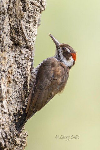 Arizona Woodpecker feeding on insects in the bark of a huge cottonwood tree.
