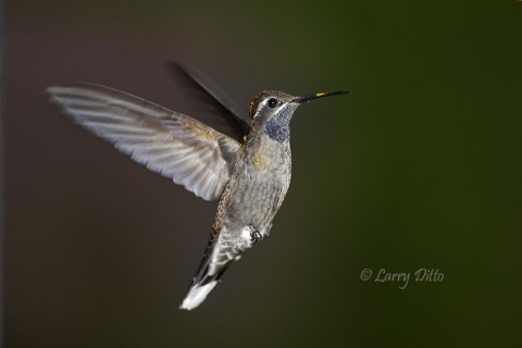Blue-throated Hummingbird in flight.