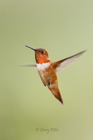 Male Rufous Hummingbird at feeder.