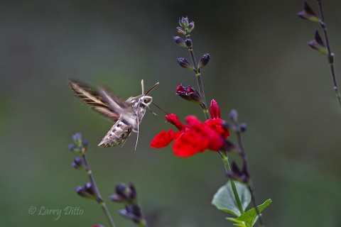 White-lined Sphinx Moth feeding at salvia flowers.