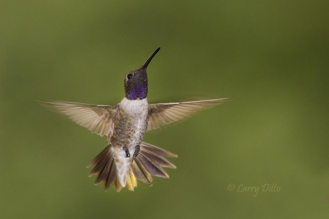 This male black-chinned hummingbird shared a butterfly garden with several species of hummers during the fall migration in west Texas.
