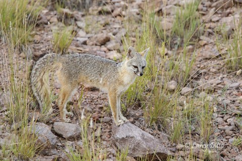Gray Fox begins its afternoon hunt in the Davis Mountains, Texas.