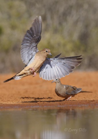 Testing the new 70-200 mm lens on landing mourning doves at Santa Clara Ranch.