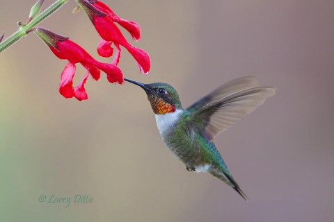 Large, red flowers attract ruby-throated hummingbirds in the Davis Mountains, Texas.