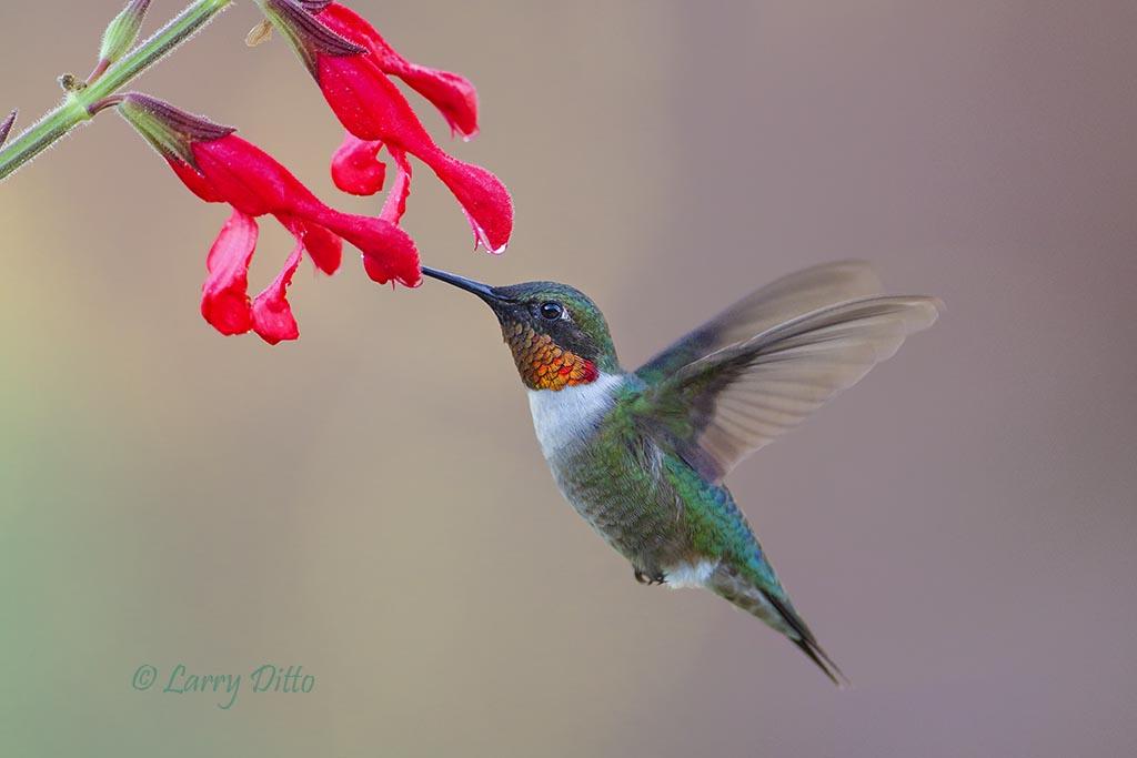 Red hummingbirds