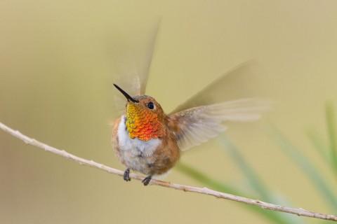 Rufous Hummingbird male landing.
