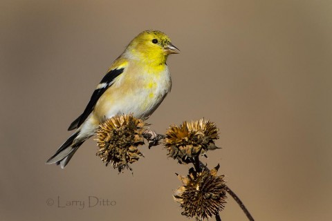 American Goldfinch feeding on sunflower seeds along the auto tour drive.
