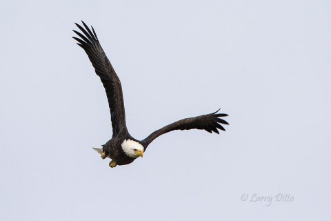 A great piece of luck was encountering a bald eagle in a lonely tree at the end of my road.