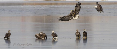 Several bald eagles gather on the ice to partake of the remains of a coot who went skating on the wrong lake.
