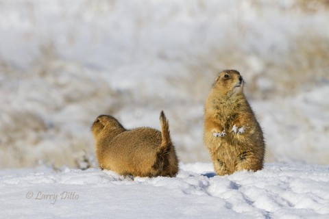 Way out west the prairie dogs are feeing on weeds peeking through fresh snow.