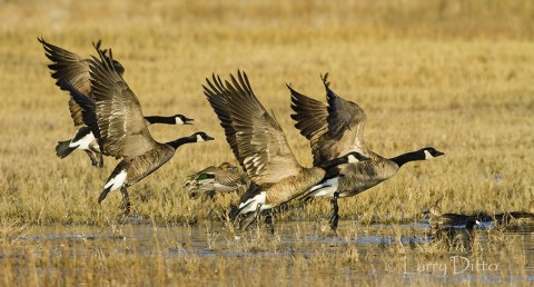 Canada Geese on takeoff.