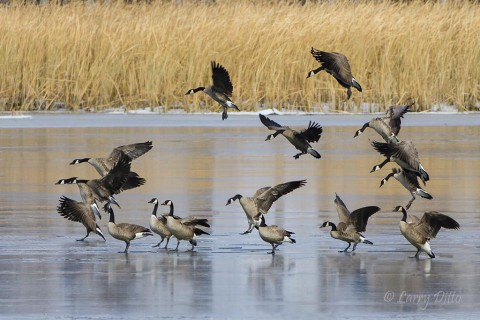 "It was so cold the Canada geese had to ""slide"" in for a landing on pond ice."