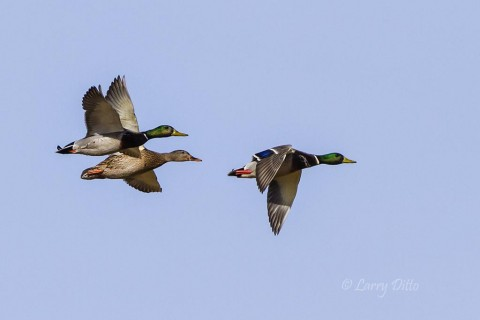 Mallards headed for a shallow wetland to dabble and feed on grass and weed seeds.